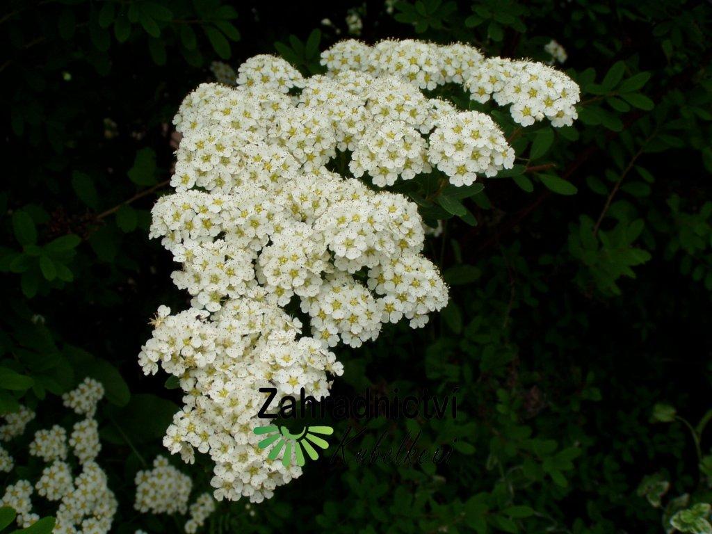Spiraea nipponica Snowmound květ