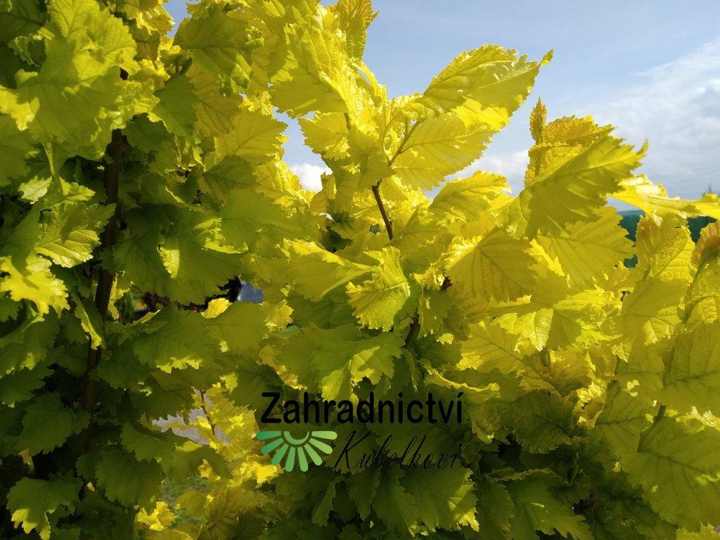 Jilm habrolistý - Ulmus carpinifolia 'Wredei' 2 l