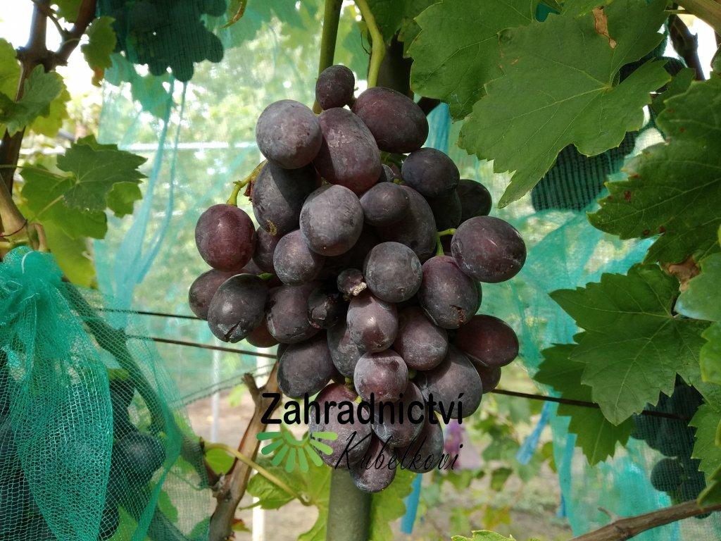 Vinná réva stolní - 'Pamjať Negrul' - PROSTOKOŘENÁ