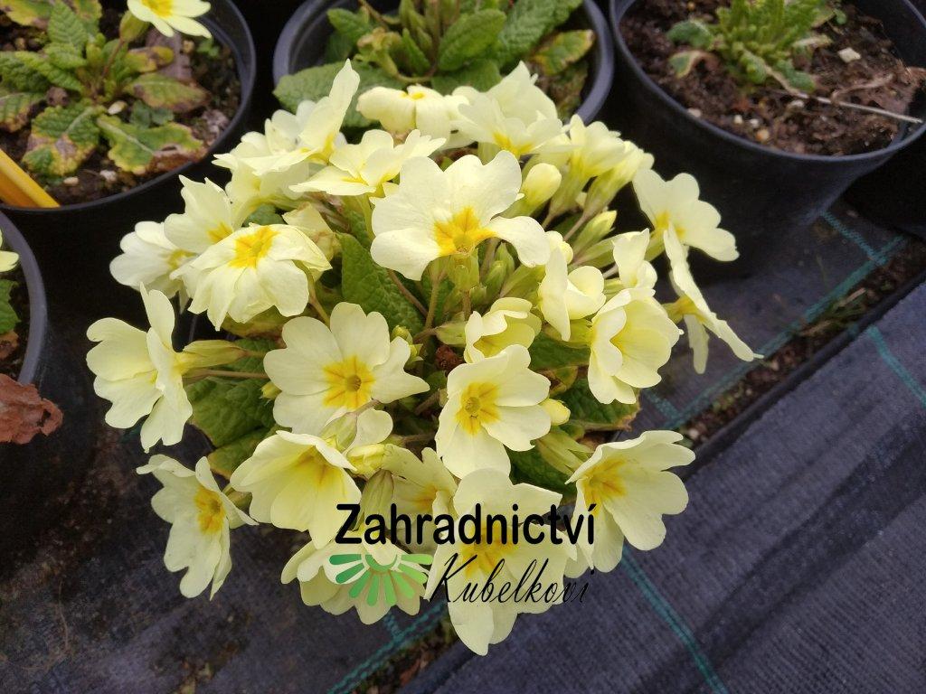 Petrklíč - Primula acaulis 'Jura'