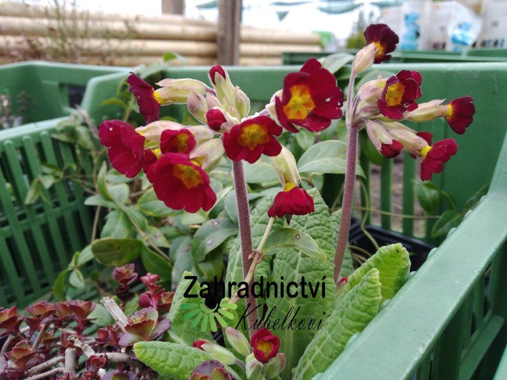 Petrklíč - Primula červený se žlutým středem