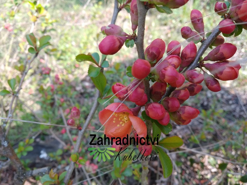 Kdoulovec - Chaenomeles japonica 'Cido'