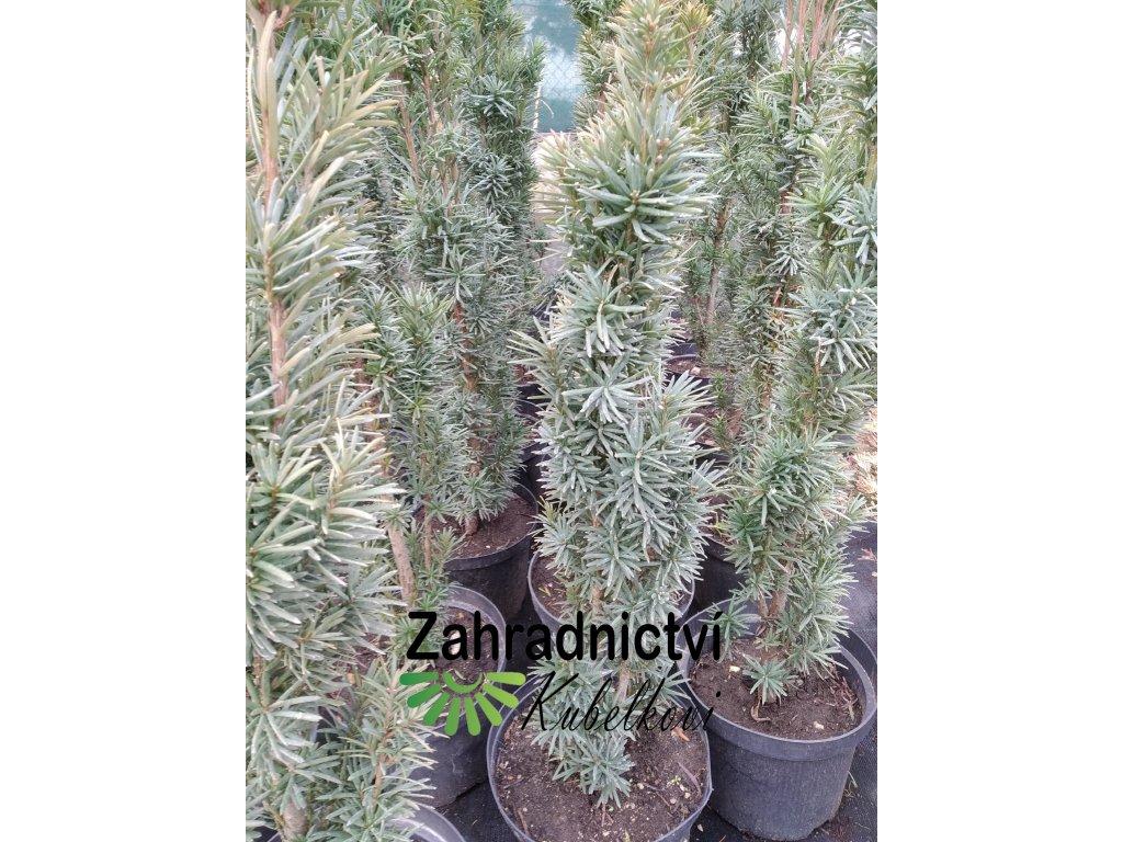 Tis červený - Taxus baccata 'Fastigiata Robusta' 1,5 l
