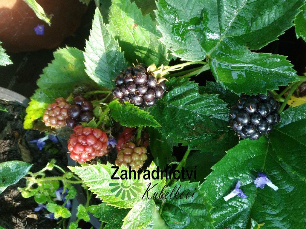 Ostružina (beztrnná) - Rubus fruticosus 'Dirksen'
