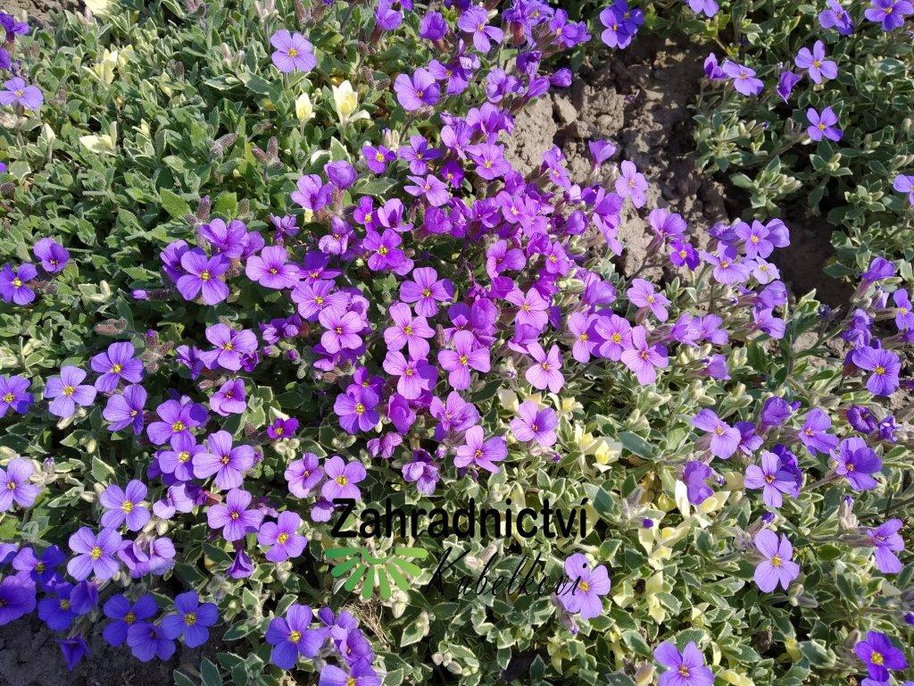 Tařička - Aubrieta modrá