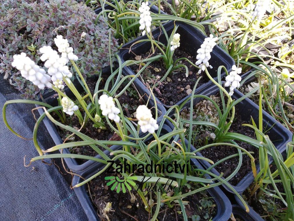 Modřenec - Muscari botryoides bílý