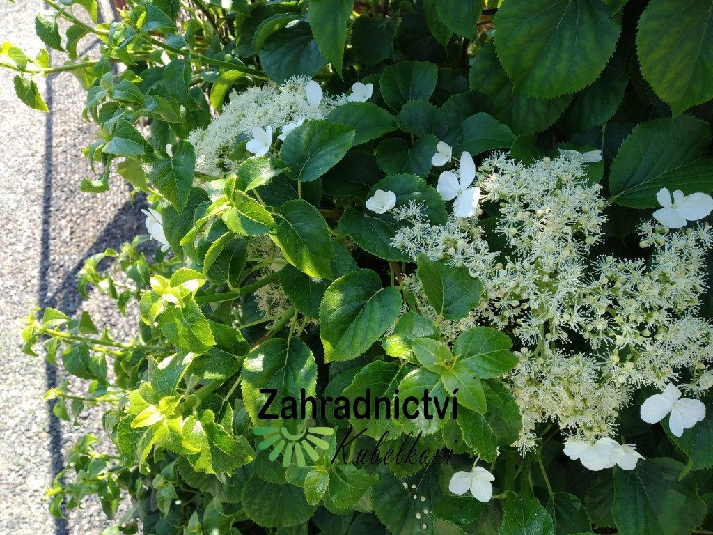 Hortenzie řapíkatá - Hydrangea petiolaris 1,5 l