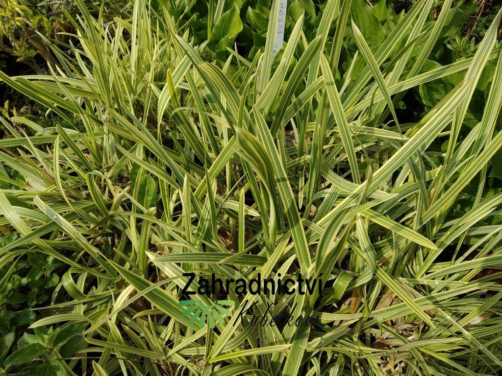 Zblochan vodní - Glyceria maxima Variegata