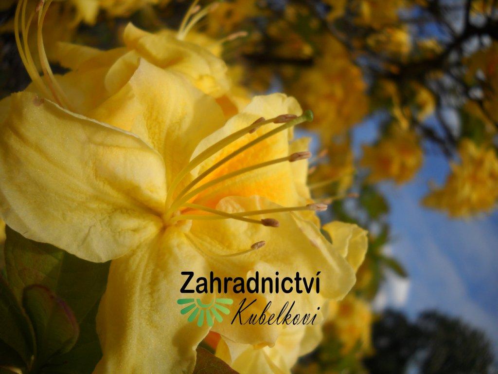 Azalka opadavá - Azalea Knap Hill 'Golden Sunset'