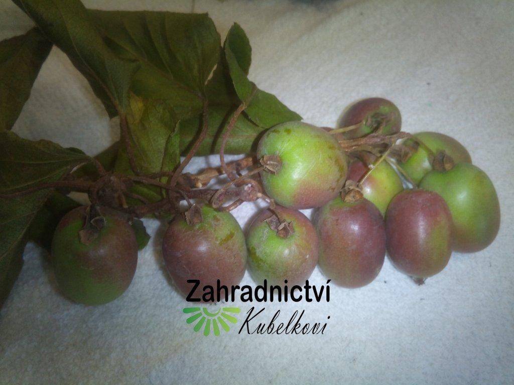 Kiwi - Actinidia arguta 'Issai' - maloplodé
