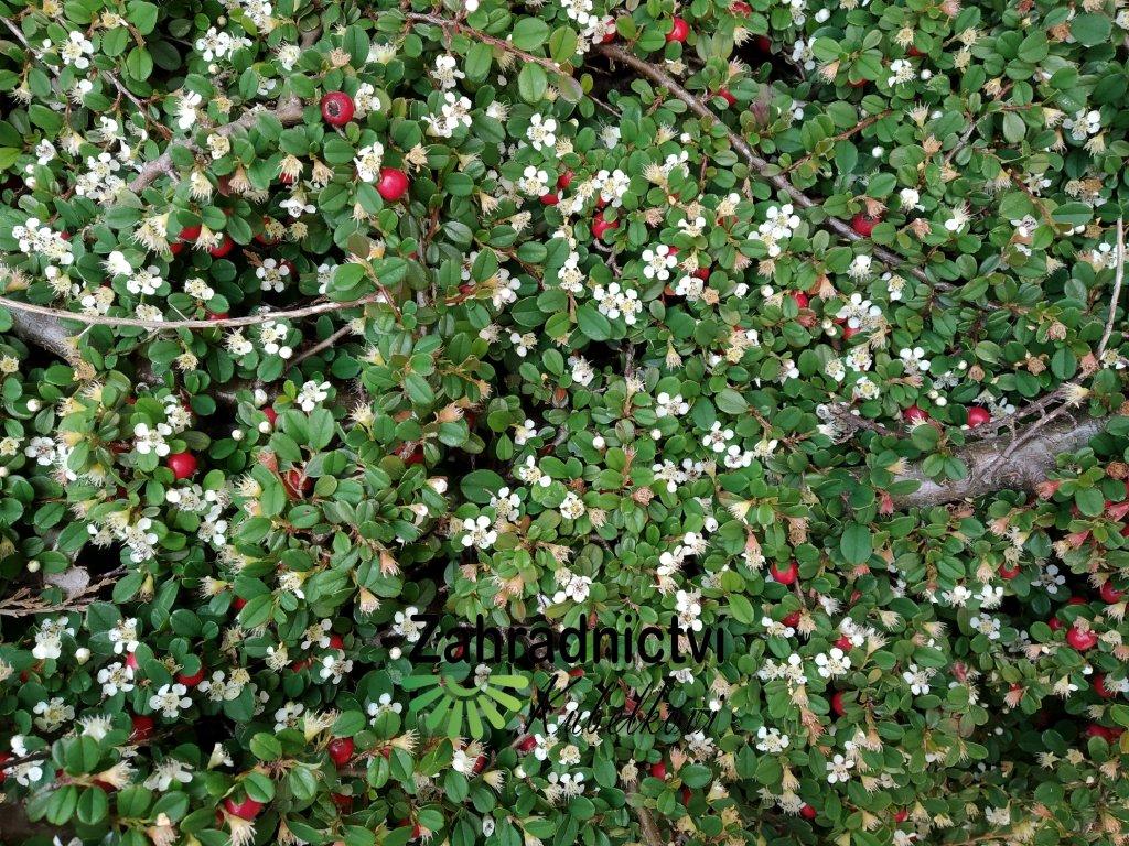 Skalník - Cotoneaster microphyllus 'Queen of Carpets' 1 l