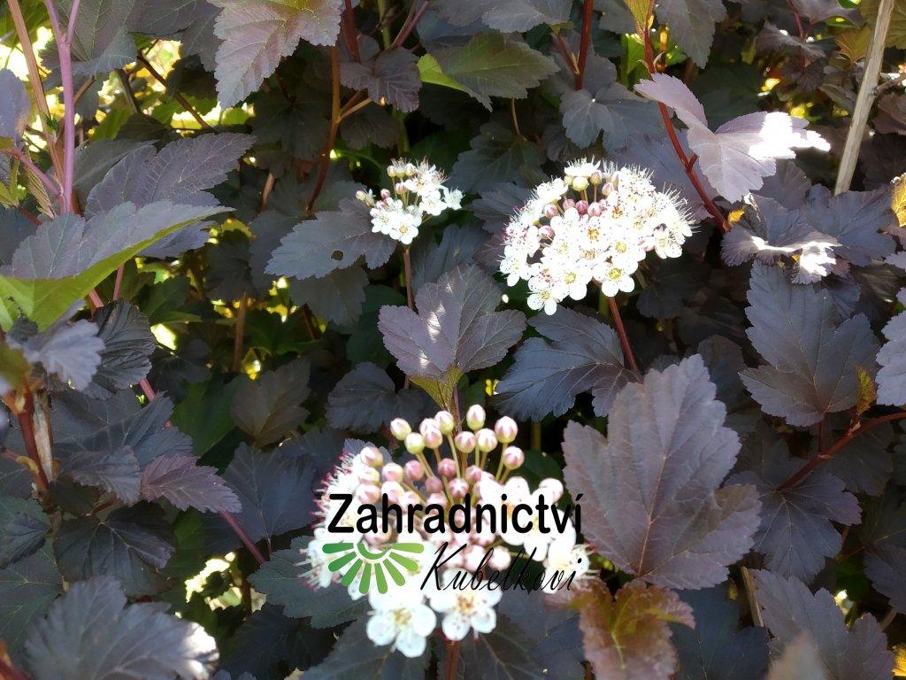 Tavola kalinolistá - Physocarpus opulifolius 'André' 1 l