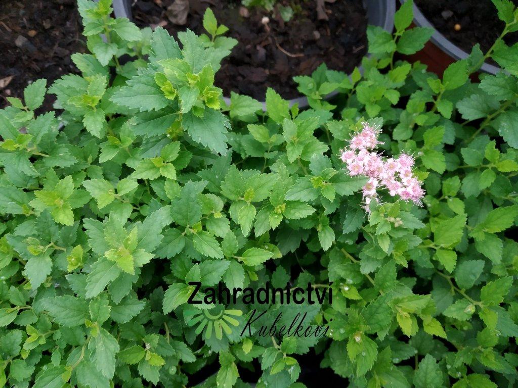 Tavolník - Spiraea japonica 'Japanese Dwarf' 1 l
