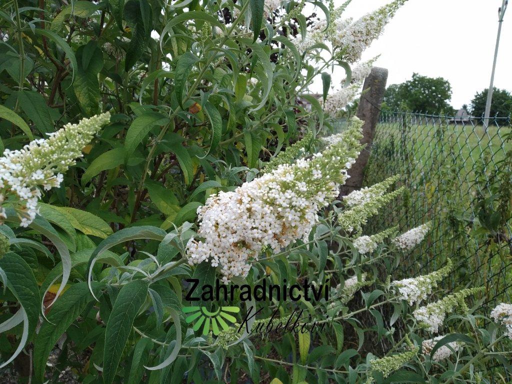 Motýlí keř - Buddleia davidii 'White Profusion' 1 l