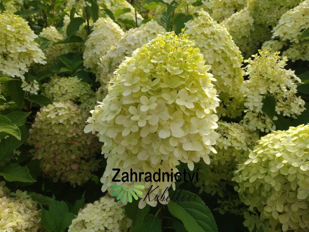 Hortenzie - Hydrangea paniculata 'Limelight' 1 l