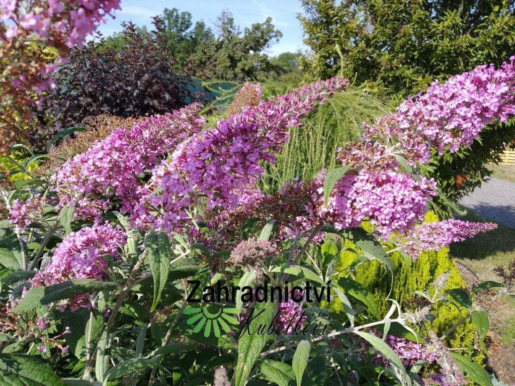 Motýlí keř - Buddleia davidii růžový 1 l