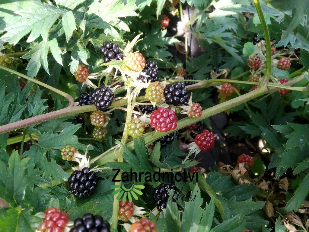 Ostružina (beztrnná) - Rubus fruticosus 'Oregon Thornless'