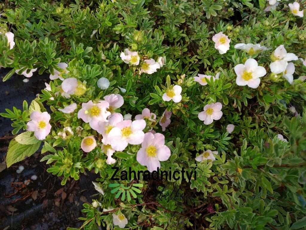 Mochna křovitá - Potentilla fruticosa 'Lovely Pink'