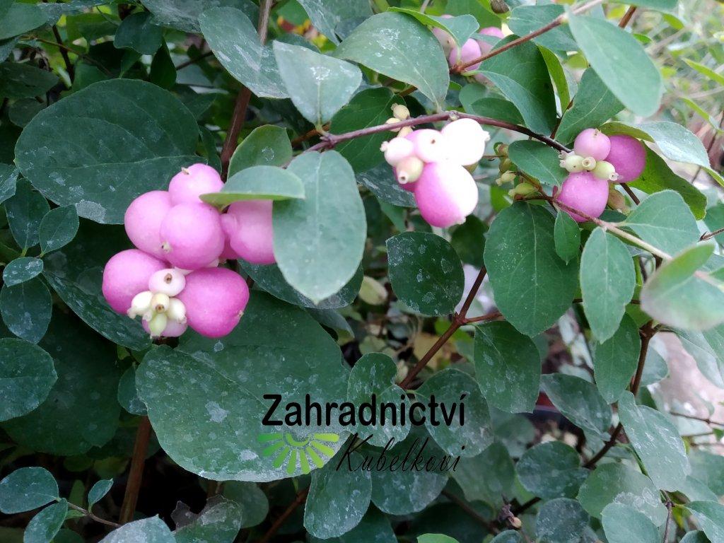 Pámelník s růžovými plody