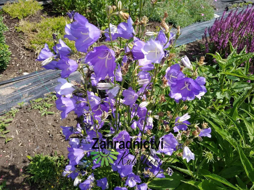 Zvonek broskvolistý - Campanula persicifolia 'Grandiflora'