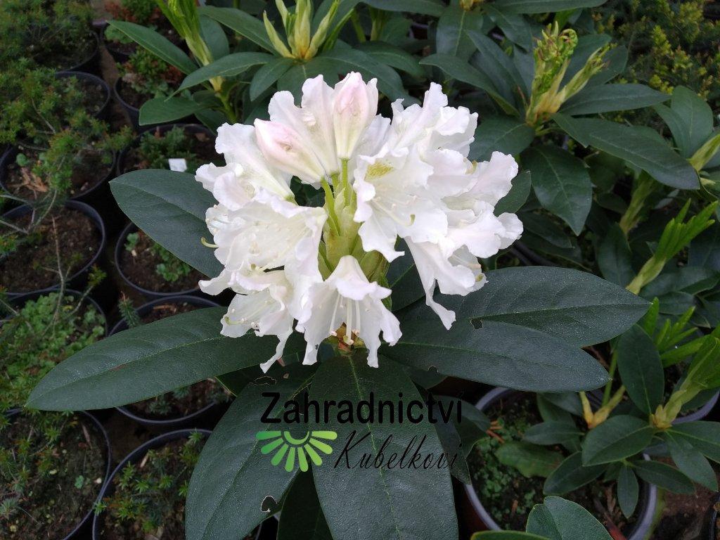 Pěnišník - Rhododendron 'Cunningham's White' 2 l