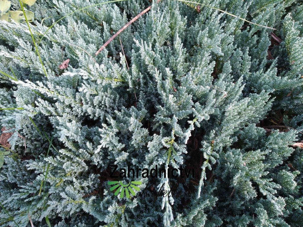 Jalovec poléhavý - Juniperus horizontalis 'Blue Chip' 2 l