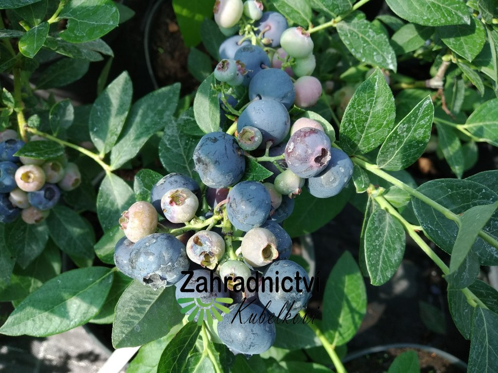 Kanadská borůvka 'Brigitta' - Vaccinium corymbosum 'Brigitta'