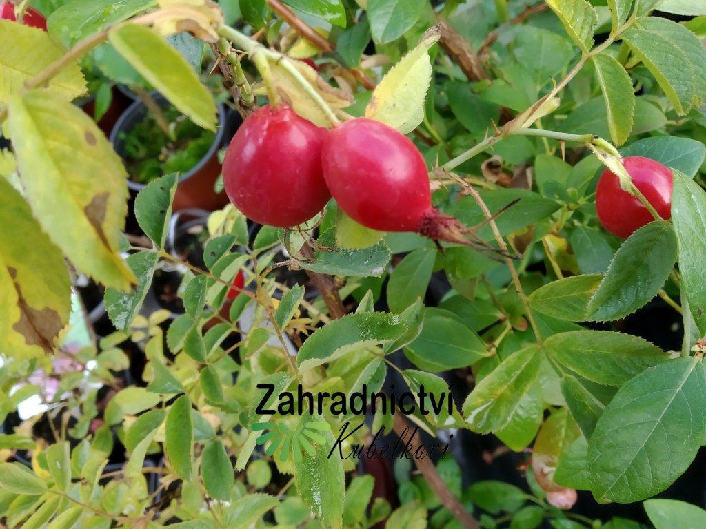 Růže dužnoplodá - Rosa villosa 'Karpatia'
