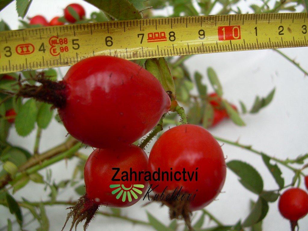 Rosa villosa (L.) KARPATIA