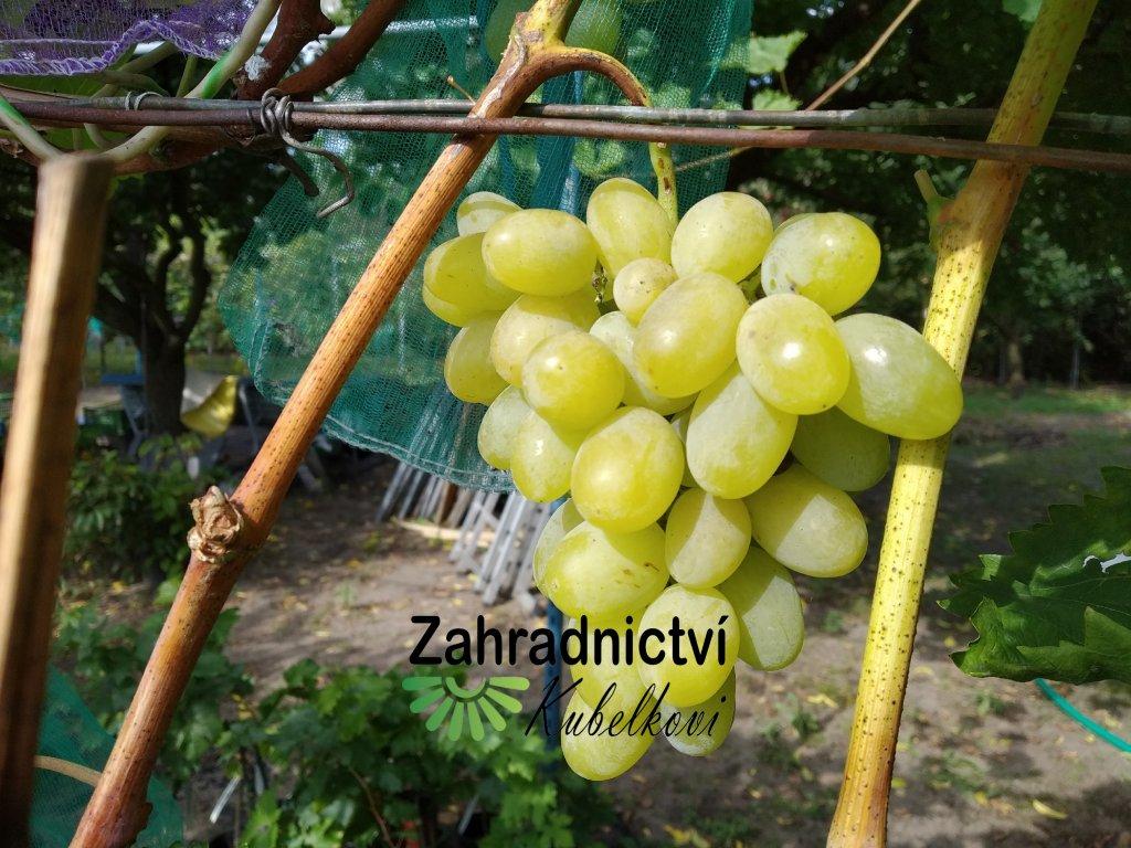 Vinná réva stolní - 'Římský V-25-20' - PROSTOKOŘENÁ