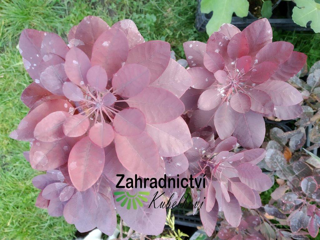 Ruj vlasatá - Cotinus coggygria 'Royal Purple'