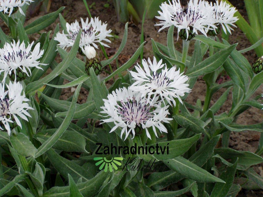 Centaurea Chrpa bílá