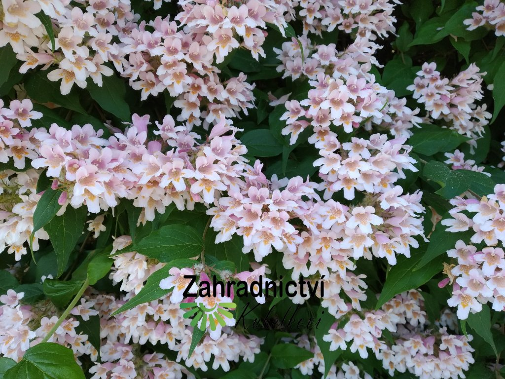 Kolkvície - Kolkwitzia amabilis 'Pink Cloud' 1 l