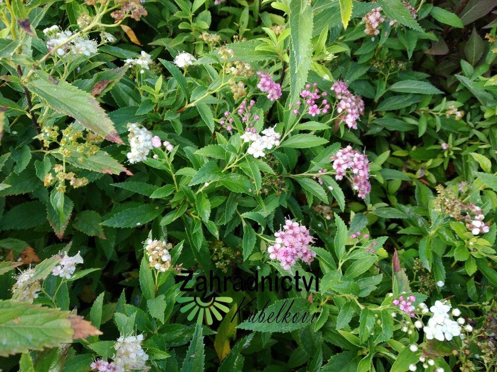 Tavolník - Spiraea japonica 'Shirobana'