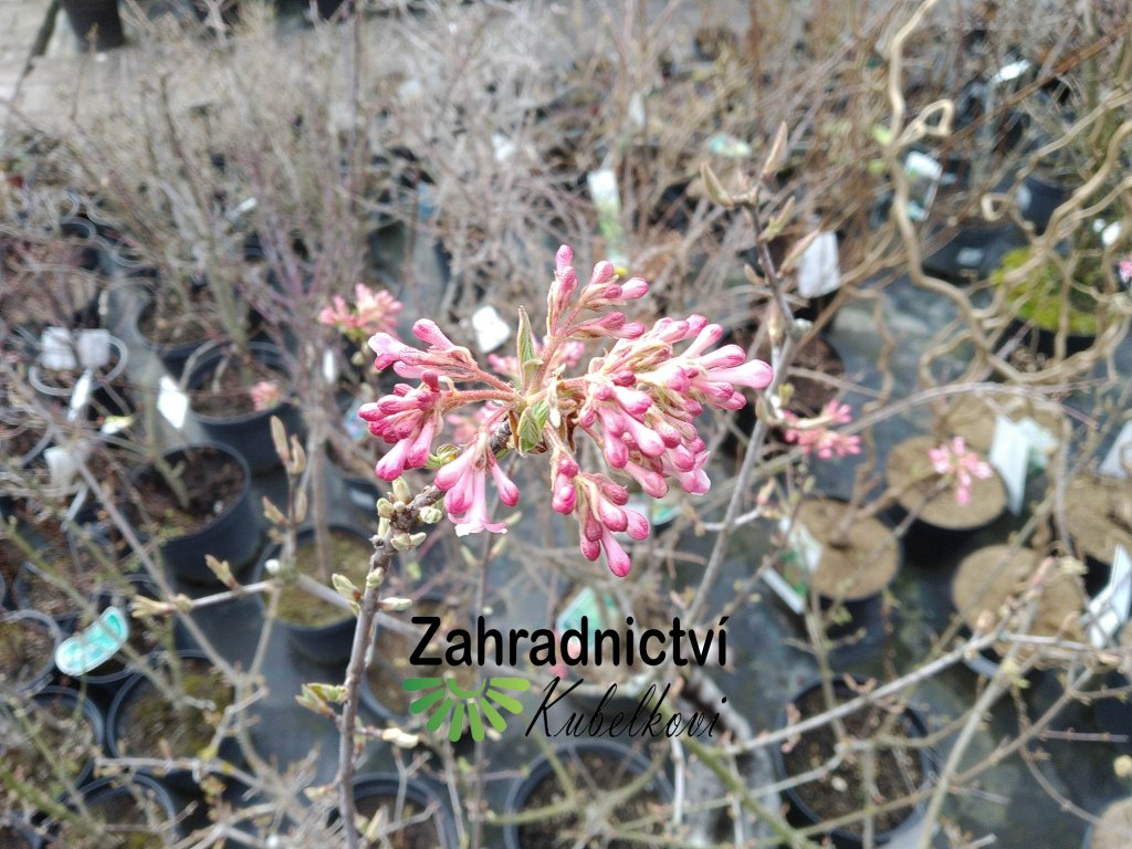 Kalina - Viburnum bodnantense 'Dawn' 1 l