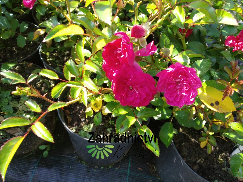 Růže pokryvná - Rosa 'Rote The Fairy' 1 l