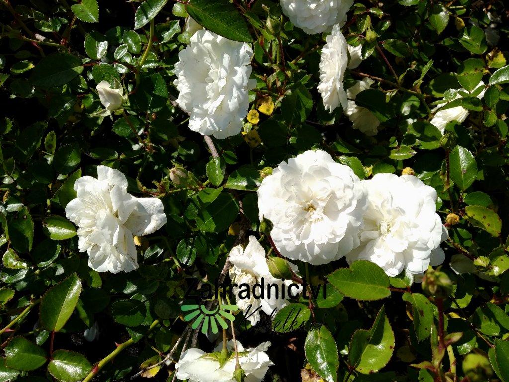 Růže pokryvná - Rosa 'Sea Foam' 1 l