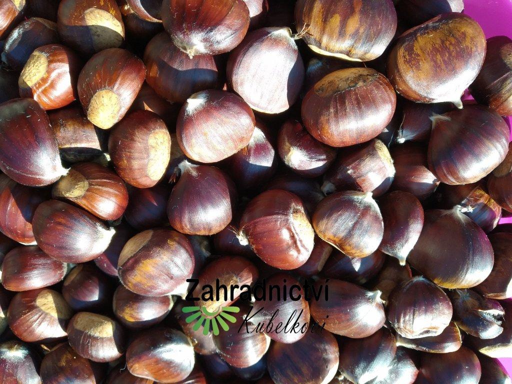 Kaštan jedlý - kaštanovník - Castanea - semenáč nižší