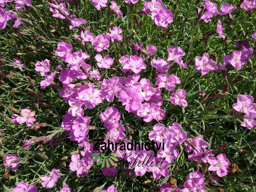 Karafiát - Dianthus ceasius