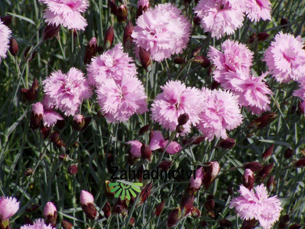 Dianthus pulmarius růžový plnokvětý, nepukavý