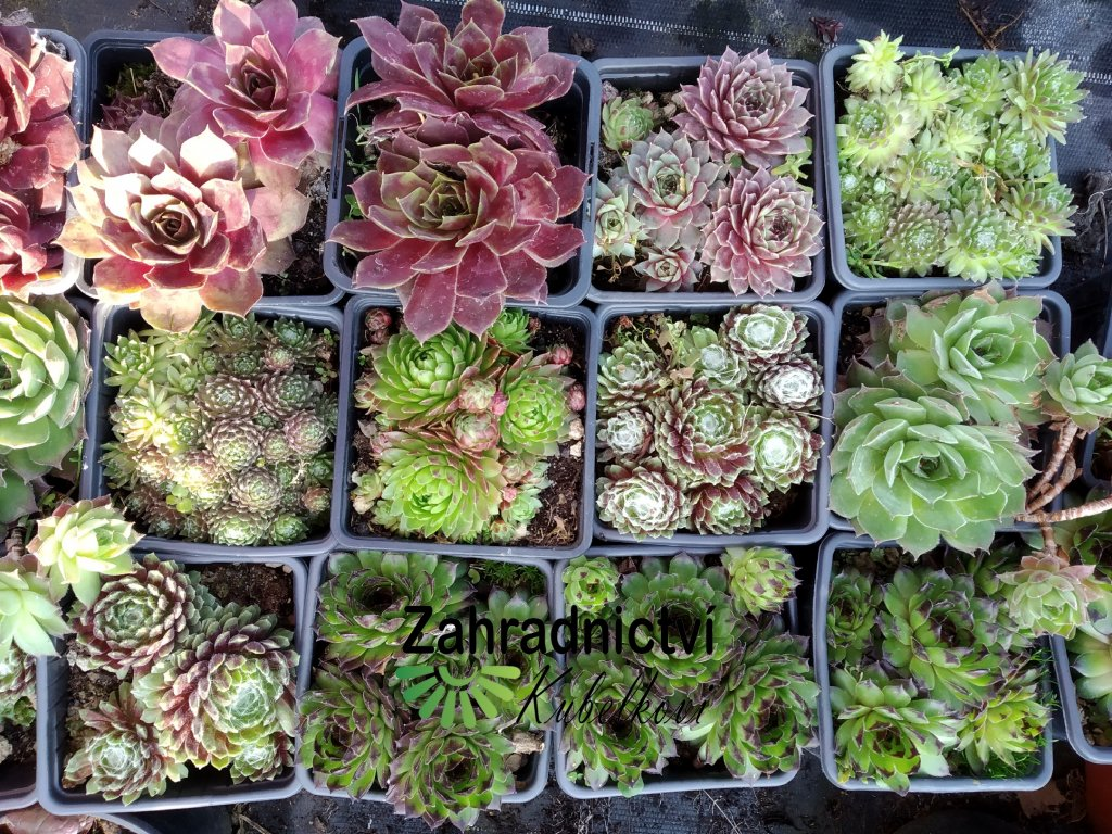 Netřesk - Sempervivum - mix