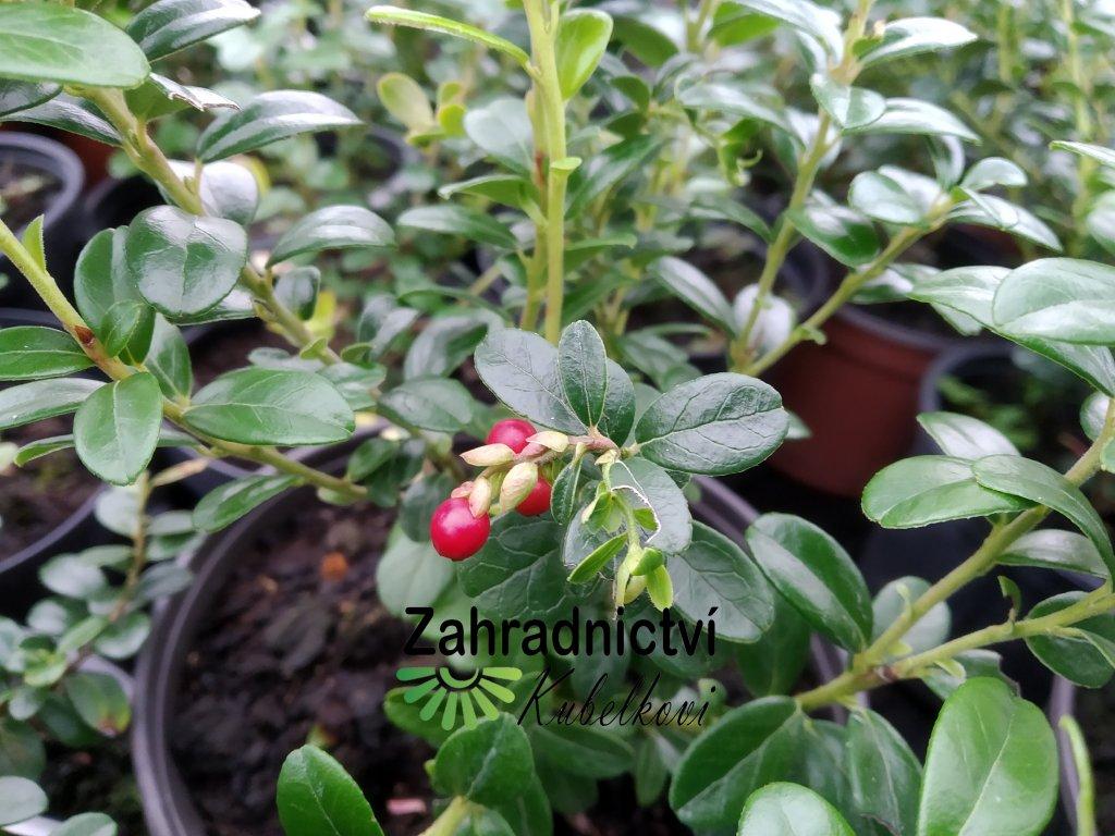Brusinka - Vaccinium vitis-idaea 'Koralle'