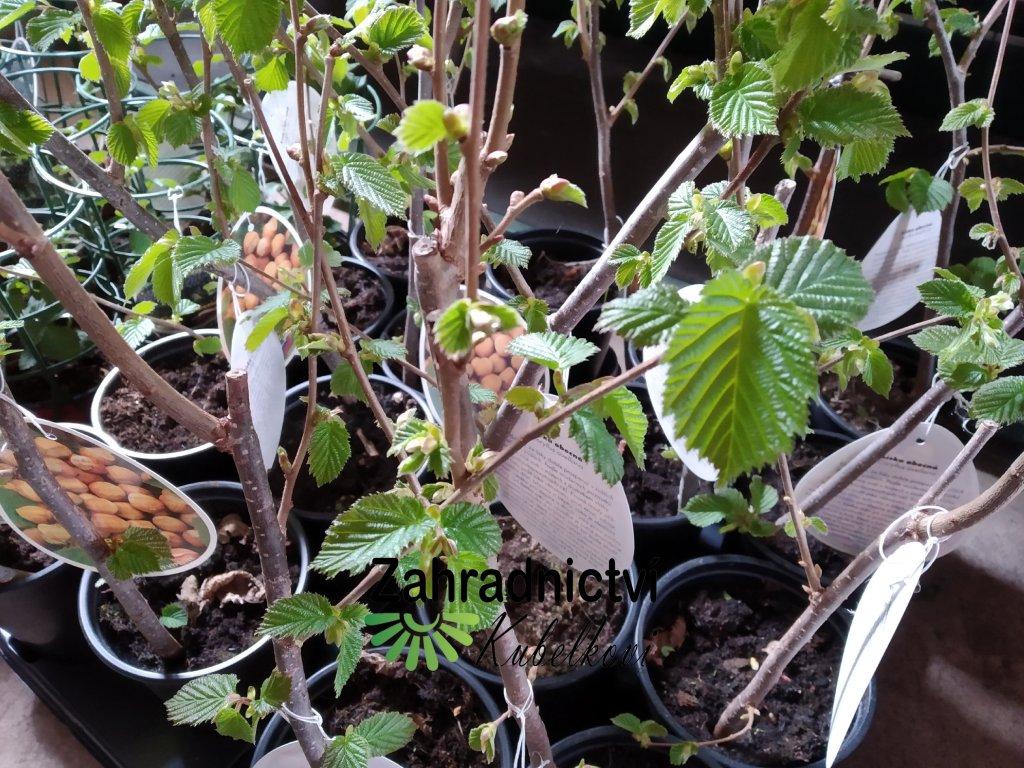 Líska keřová - Corylus avellana 'Lombardská bílá'