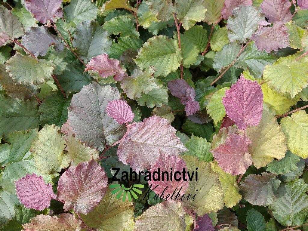 Líska červenolistá - Corylus avellana 'Red Zeller'