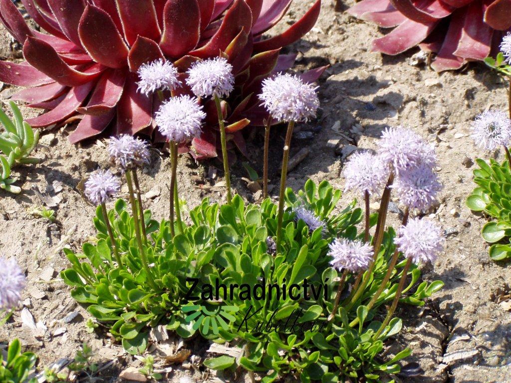 Globularia cordifolia Koulenka
