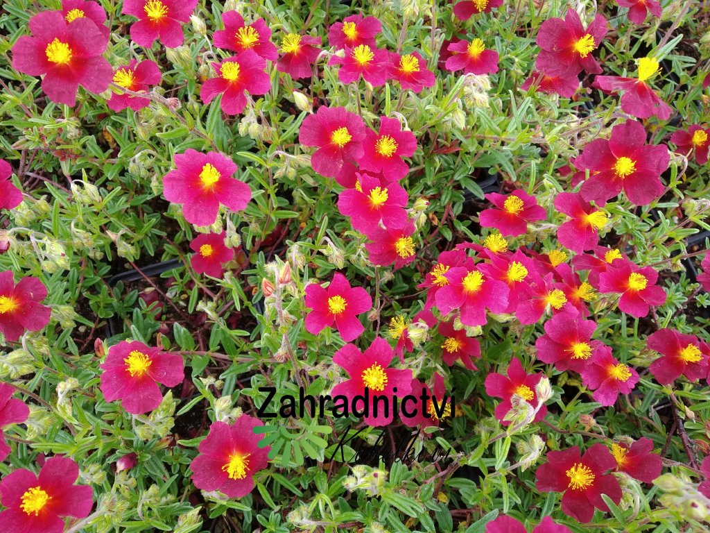 Devaterník - Helianthemum 'Red Orient'