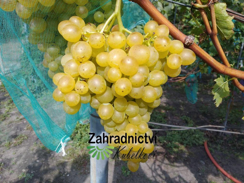 Vinná réva stolní - 'Palatina' neboli 'Prim' PROSTOKOŘENÁ