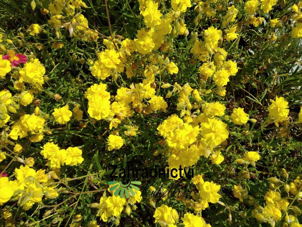Devaterník - Helianthemum 'Gelbe Perle'