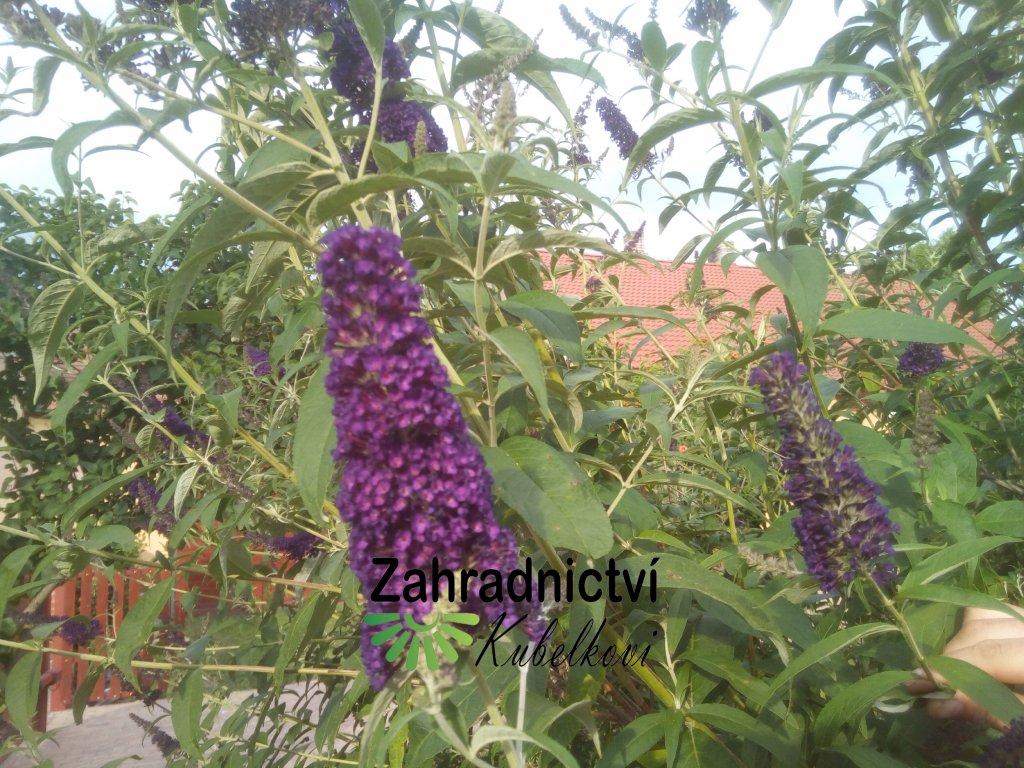 Motýlí keř - Buddleia davidii 'Black Knight' 1 l