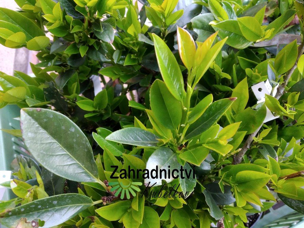 Bobkovišeň - Prunus laurocerasus 'Cherry Brandy'